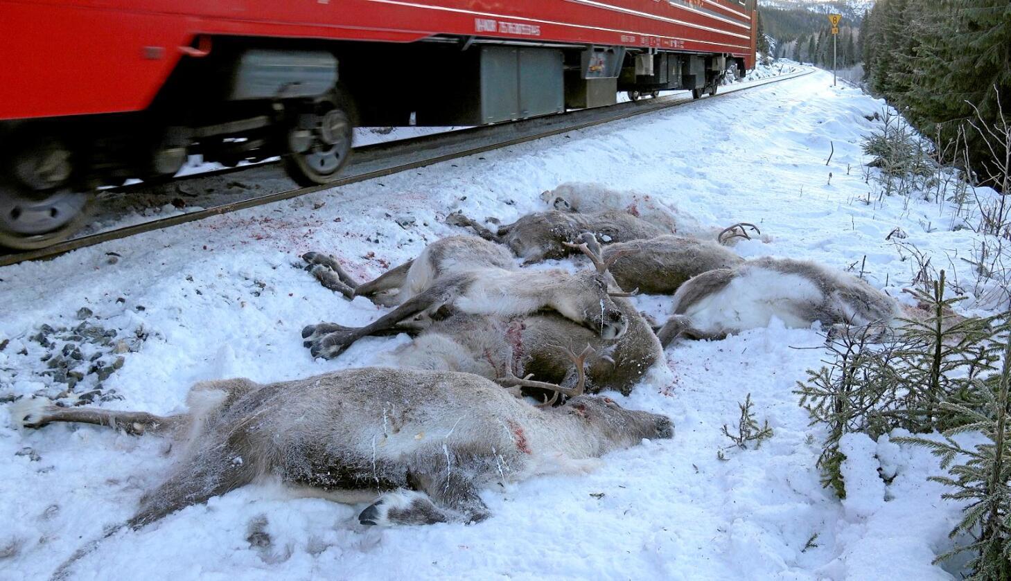 Døde dyr: 110 reinsdyr ble påkjørt og drept av toget sist uke. Foto:John Erling Utsi/Scanpix