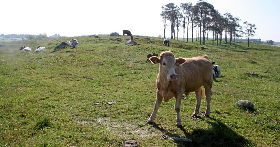 Avgiftseffekt: Politikarar fryktar auka import av kjøtt og kraftfôr og vender tommelen ned for avgift på storfe og kjøtt. Foto: Bjarne Bekkeheien Aase