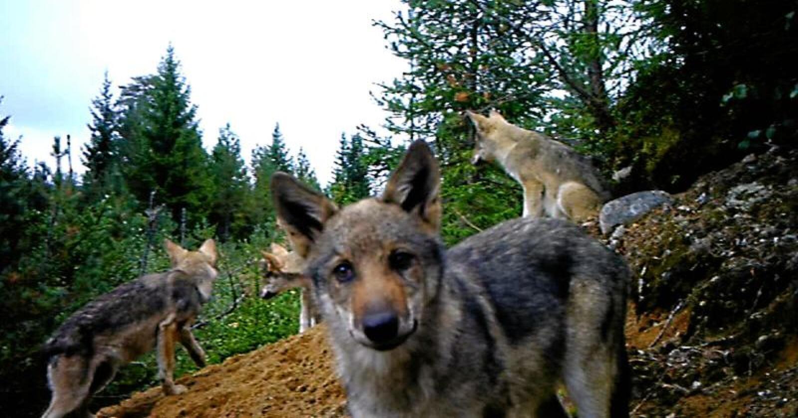 Undrande: Her ser vi fire ulvekvalpar, éin av dei heilt oppe i viltkameraet som er utstasjonert i Finnskogen. Foto: Skjermdump / Egil Tømte Austad / Kjell Skogsrud