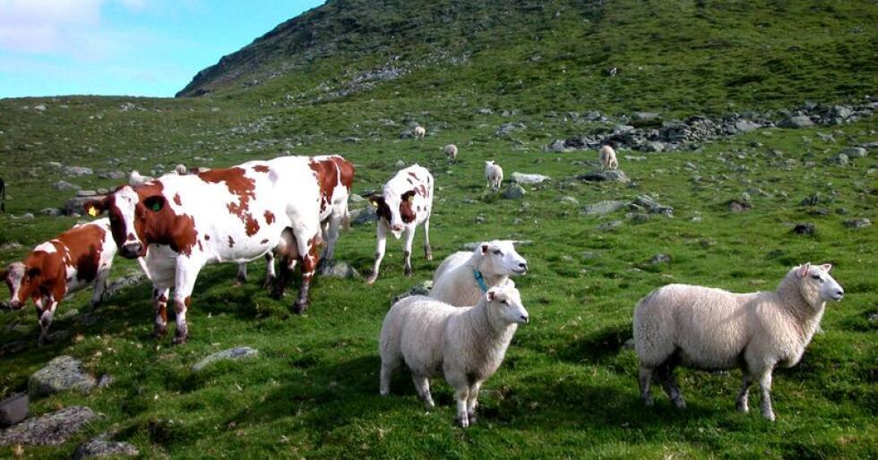 Kuer og sauer beiter sammen. Foreløpige tall fra Landbruksdirektoratet viser at tallet på melkekyr og sauer går ned i 2019. Foto: Berit Keilen / NTB scanpix