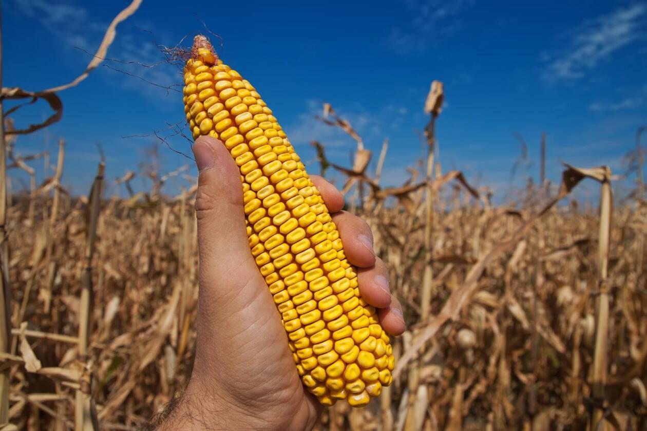 Mais er den eneste genmodifiserte planten som dyrkes i EU i dag. Foto: Colourbox
