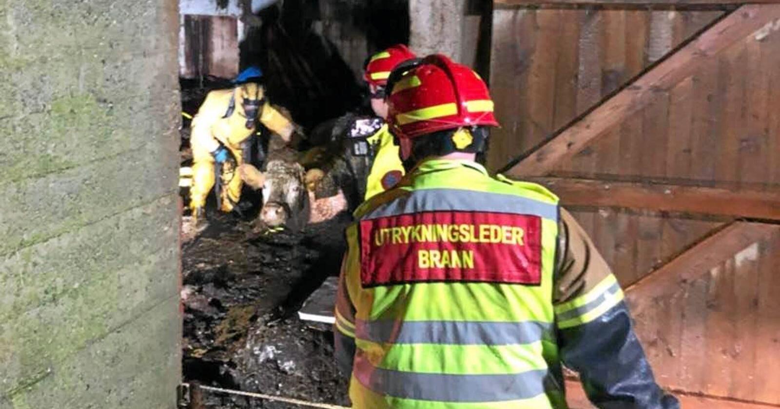 Her får ku nummer 1349, frå no av Andrea, hjelp frå brannfolk til å kome seg ut av møkakjellaren under sauefjøset. Foto: Privat