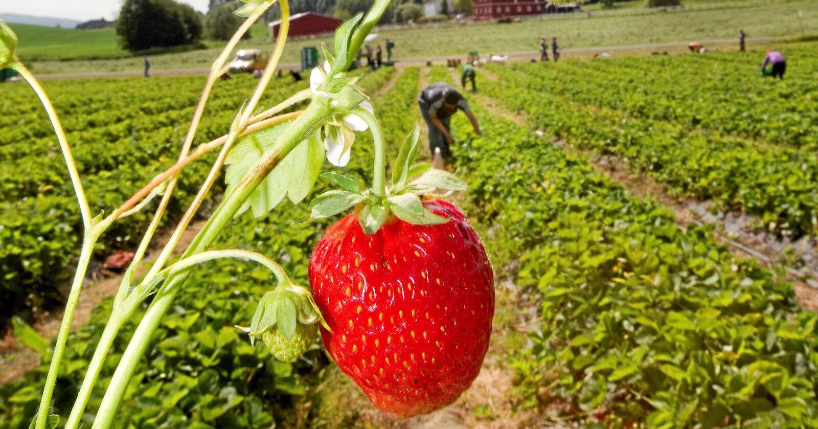 Arbeidsvilkår: Norsk landbruk er avhengig av importert arbeidskraft. Foto: Gorm Kallestad / NTB scanpix