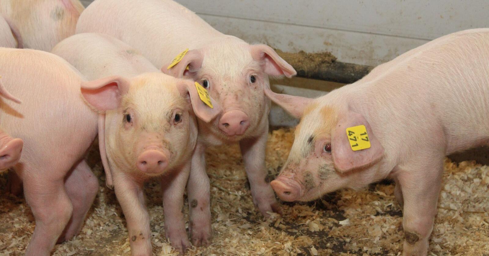 Kinas etterspørsel etter avlsdyr for å bygge opp sin svineproduksjon blir beskrevet som umettelig.