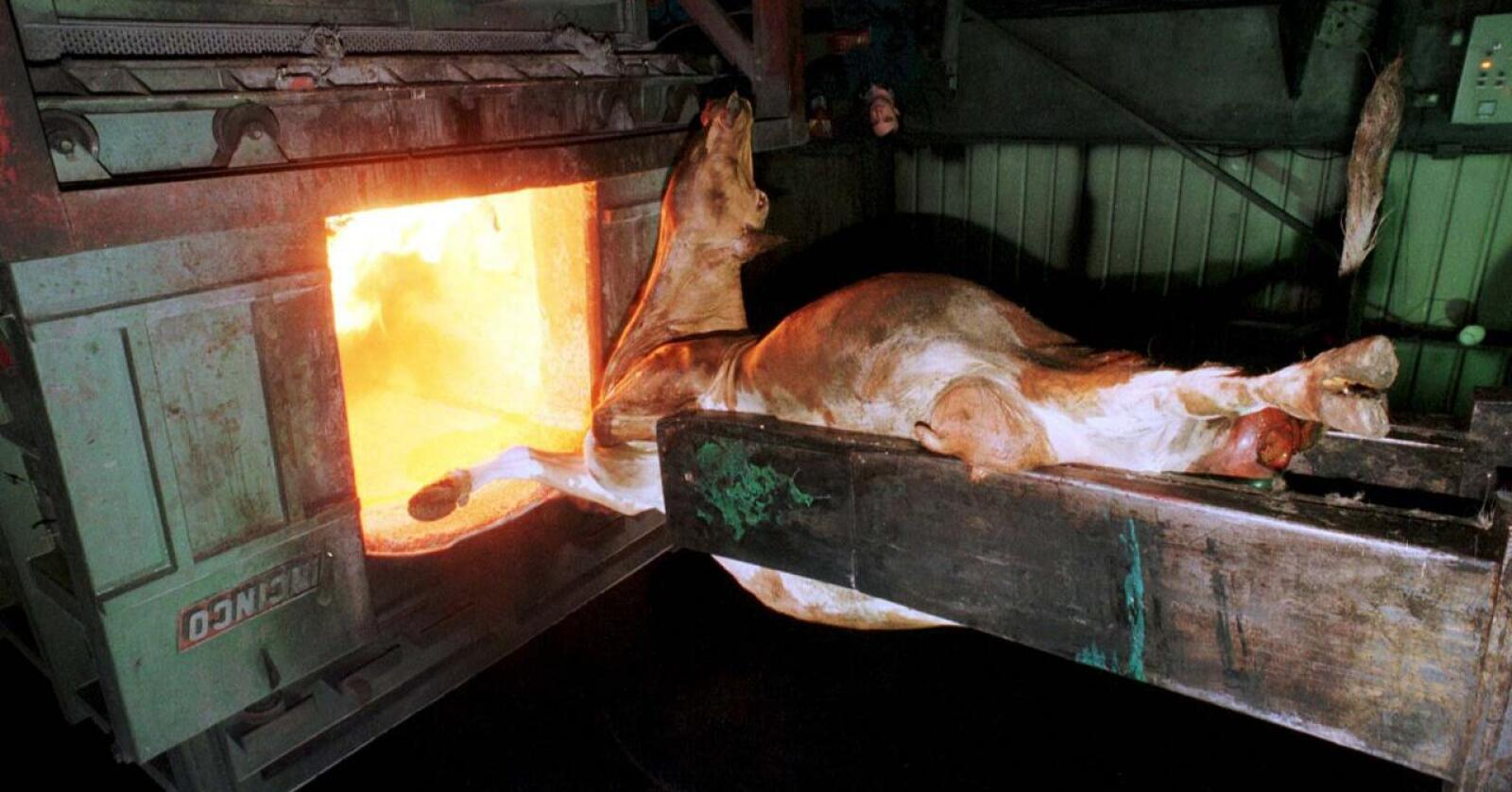 Ku-kadaver brennes på grunn av kugalskap i Wessex dyreforbrenningsanlegg på midten av 90-tallet. Millioner av storfe ble den gang avlivet og brent for å stoppe utbruddet. Foto: Nationen