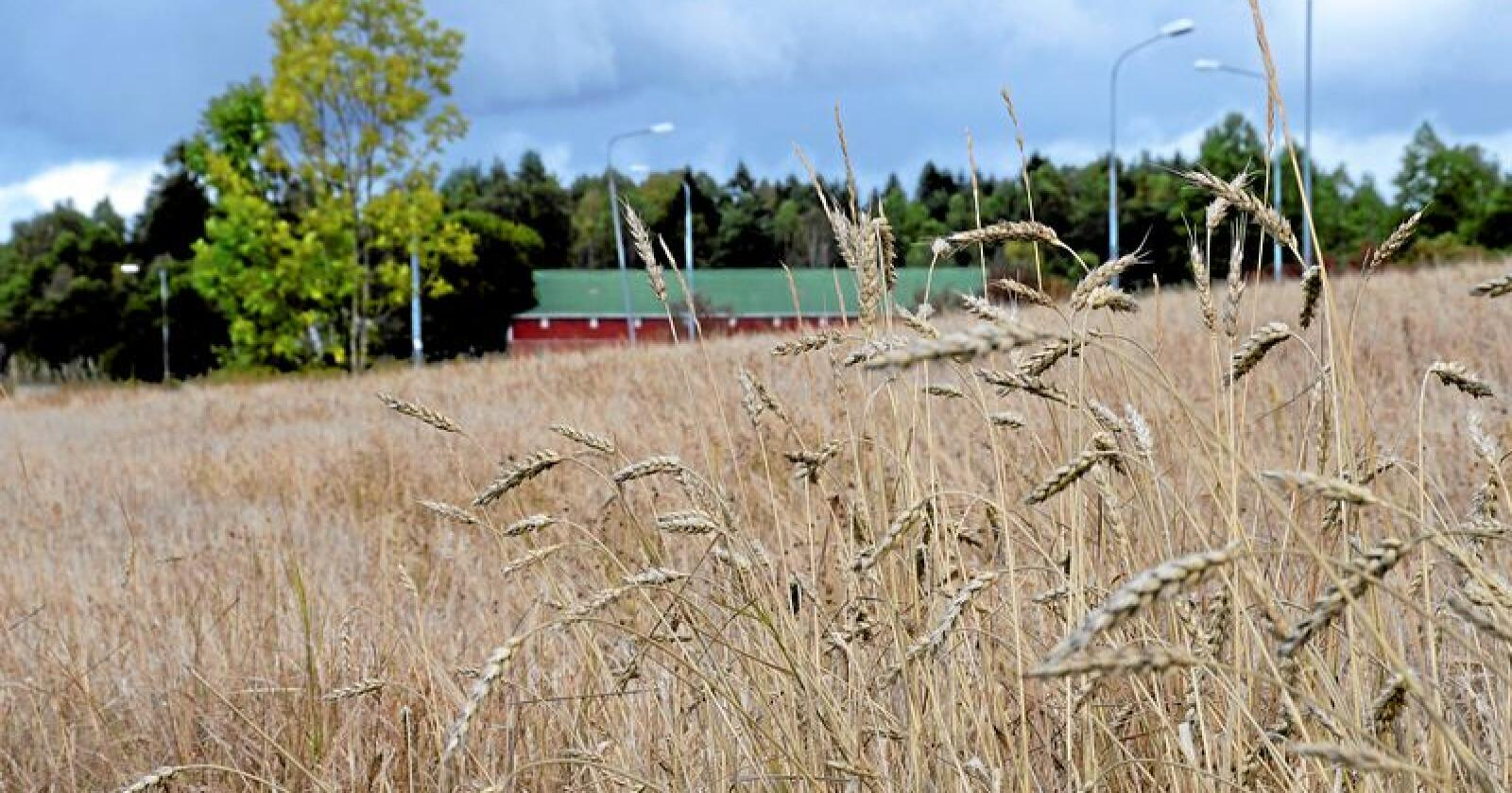 Regjeringen ønsker ikke å bygge opp et beredskapslager med korn. Foto: Mariann Tvete