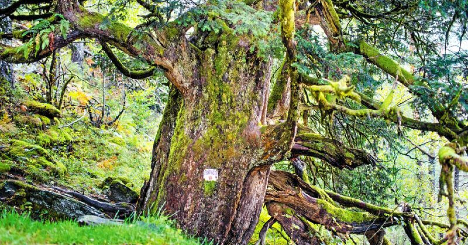 Omtrent midt på Varaldsøy i Kvinnherad i Hordaland står eitt av Noregs eldste tre, ei barlind som kanskje er nesten tusen år gammal. Kjempa er 13 meter høg og har ein omkrins på 5,6 meter. Barlind er blant treslaga som blir eldst i Nord-Europa. Piler frå barlind er blitt brukt til å drepe, men stoff i treet inneheld også ein type cellegift som blir brukt i kreftmedisin. Trevirket er slitesterkt og nytta i trebåtar. Den store barlinda på Varaldsøy har derimot stått i fred i fleire hundreår og er i dag verna. Foto frå boka: Stig B. Hansen