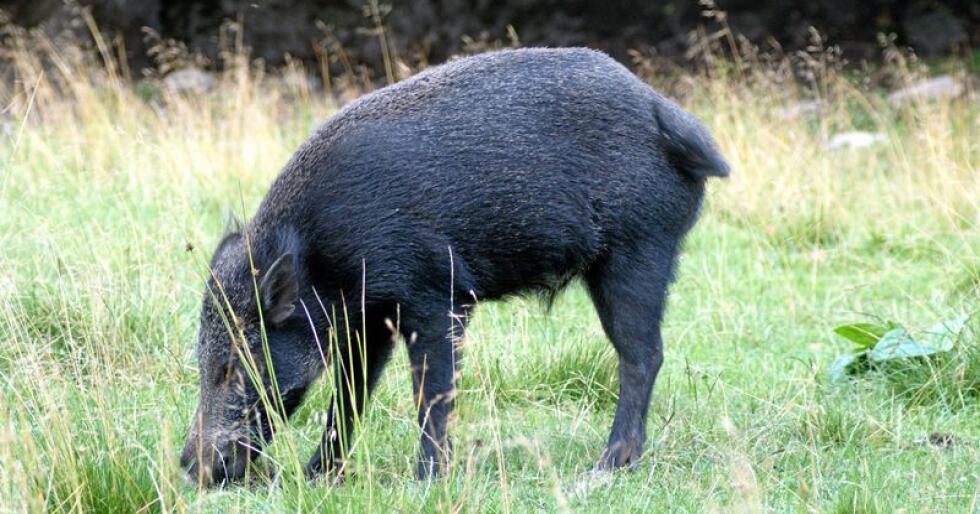 Tidlig i fjor høst ble afrikansk svinepest oppdaget i Belgia, det har blitt oppdaget flere hundre tilfeller av villsvin smittet av sjukdommen siden da. Foto: Mostphotos