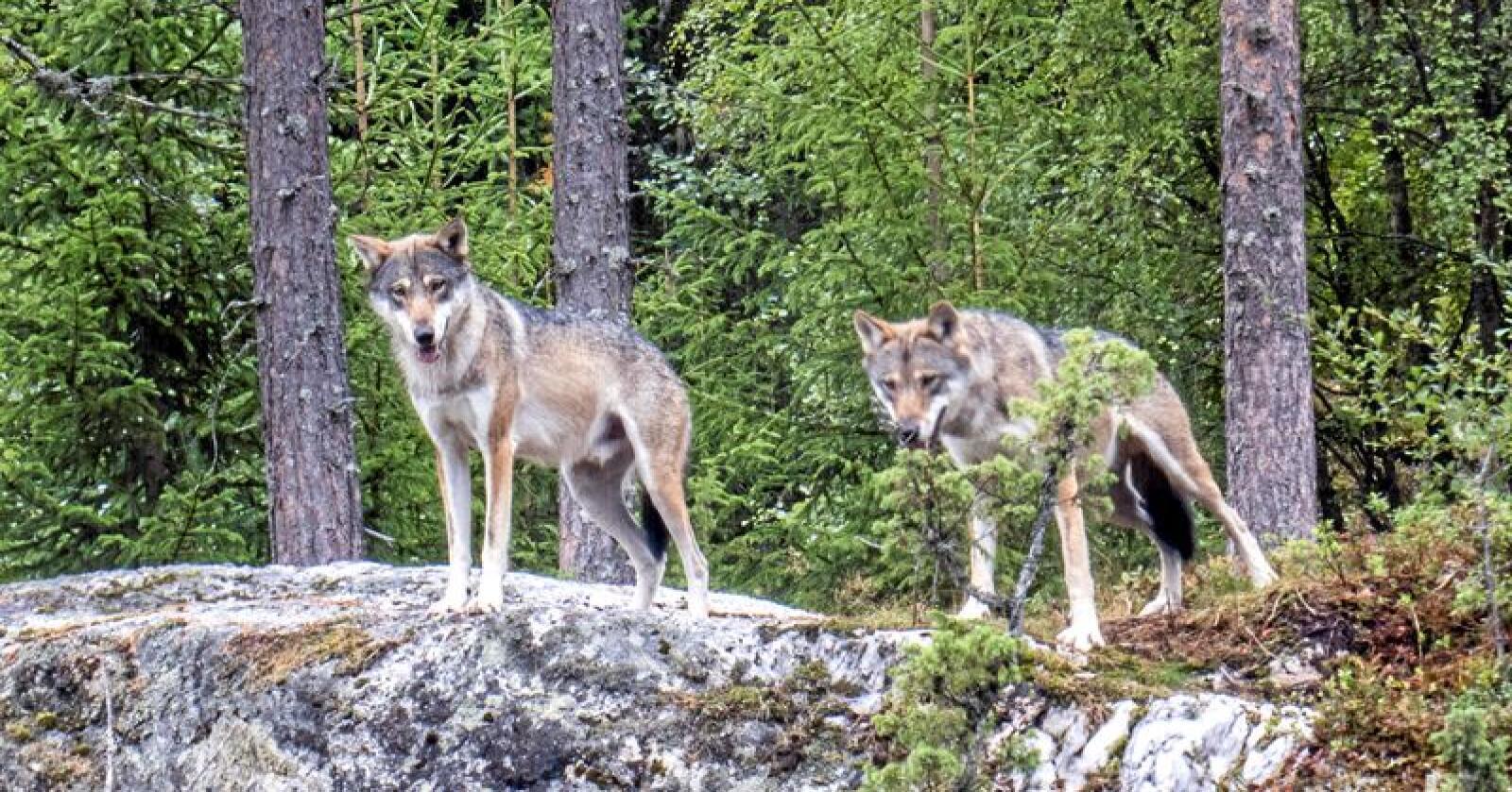 Noen ulverevirer har oftere angrep på hunder enn andre. Illustrasjonsfoto: Paul Kleiven / NTB scanpix
