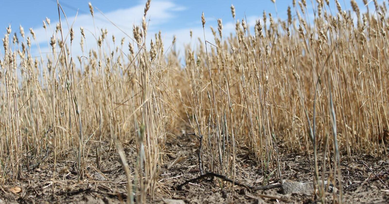 Ifølge en ny studie kan så mange som 500 millioner mennesker bli rammet av ekstrem tørke i 2100.  Her er illustrasjonsbilde fra en norsk kornåker i 2018. Foto: Marit Glærum