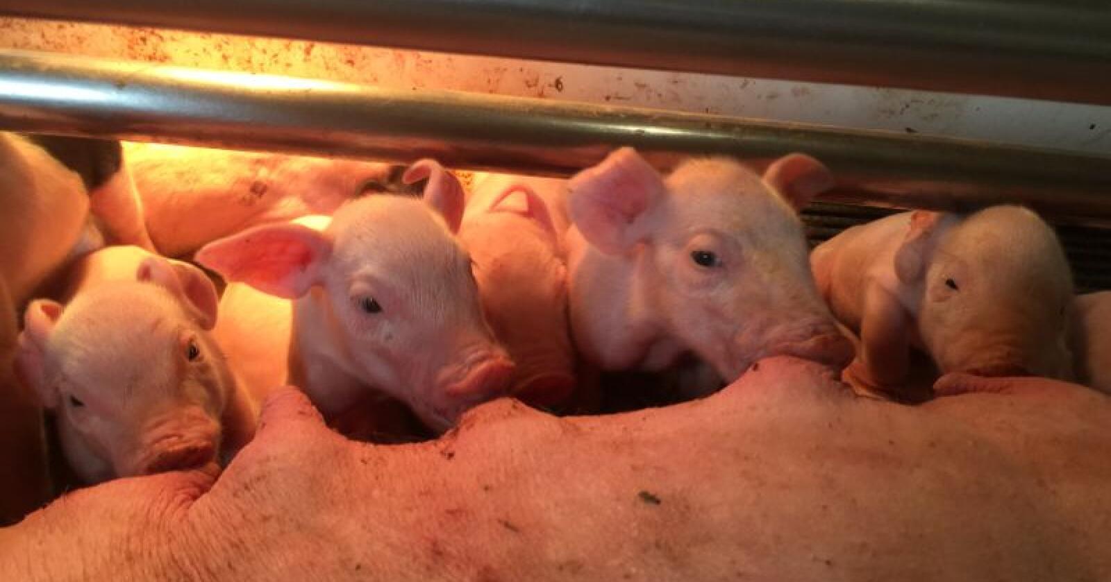 Etter at mer enn 200 000 gris er avlivet i Kina har de nå klart å identifisere at matavfall har vært en av smittekildene til det store utbruddet av afrikansk svinefeber. Illustrasjonsfoto.