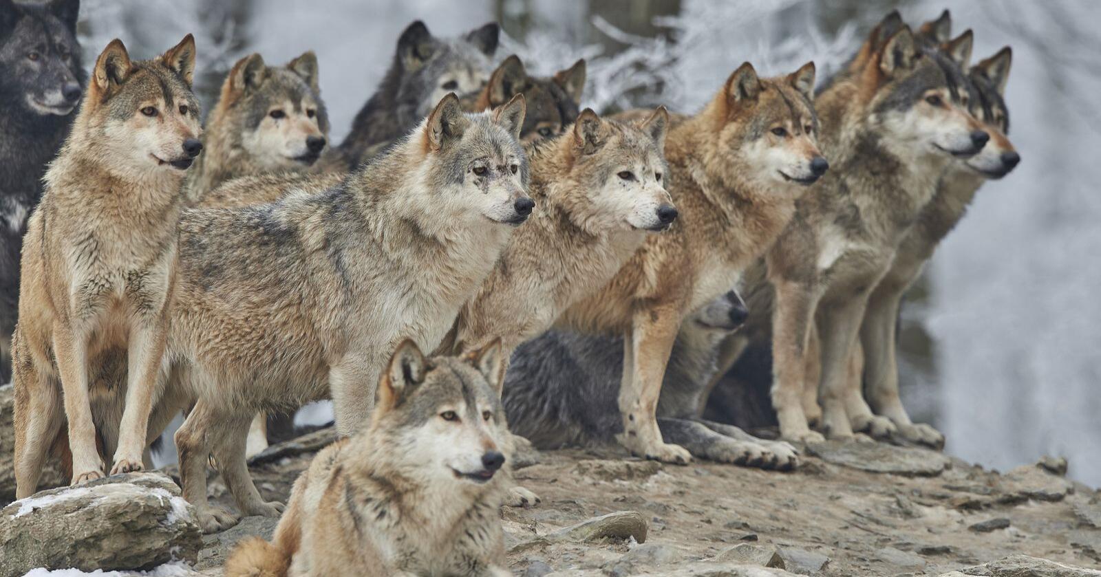 Kan staten på lovlig vis holde en art som er kritisk truet på rødlisten nede på kontinuerlig kritisk truet nivå gjennom årlig uttak, for eksempel gjennom jakt? Det er WWFs spørsmål. Foto: Shutterstock / NTB