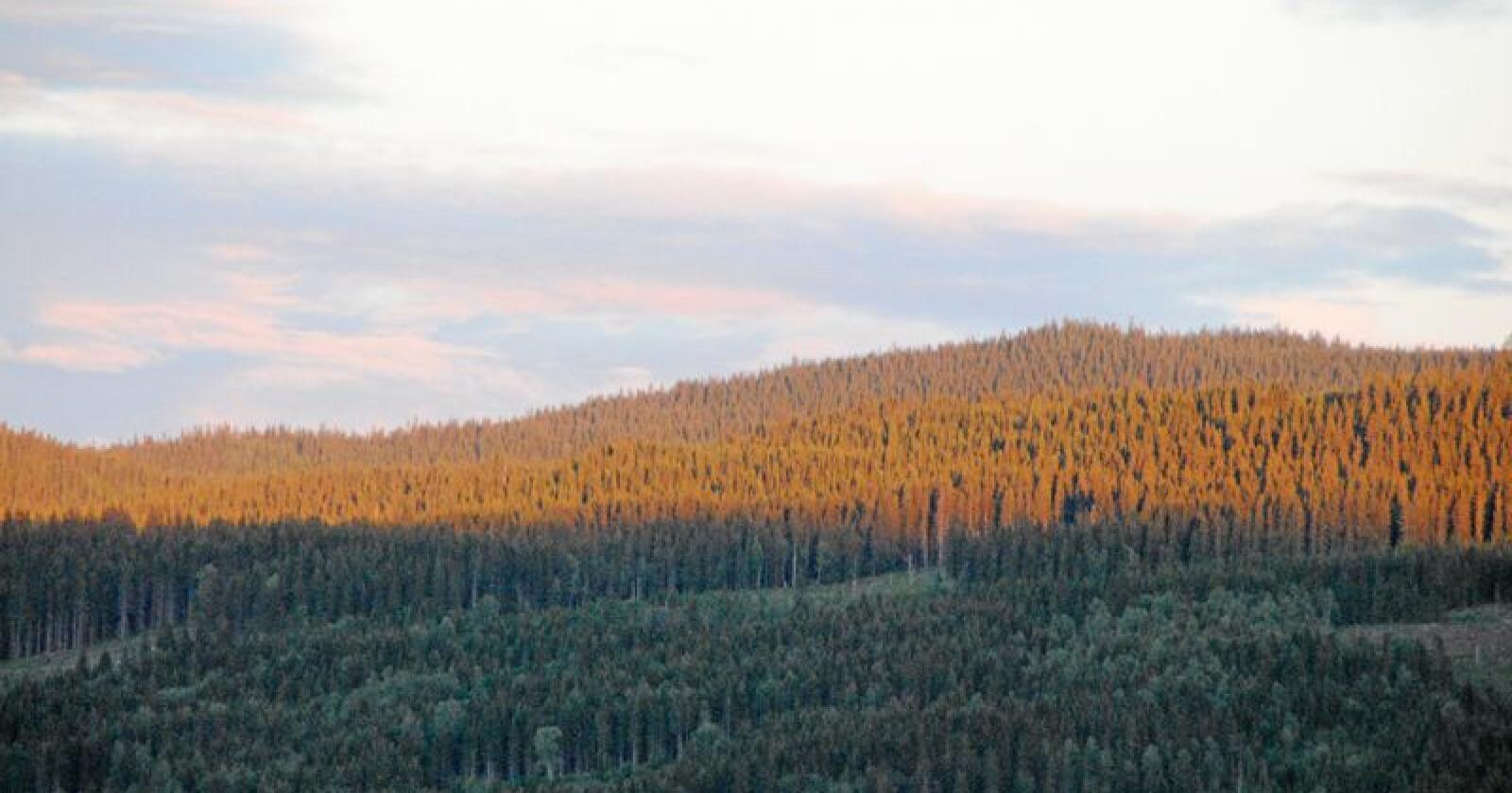 Skogen tar opp og binder en stor mengde CO2, og er dermed viktig i kampen for å redusere klimagassutslippene. Foto: Lars Bilit Hagen