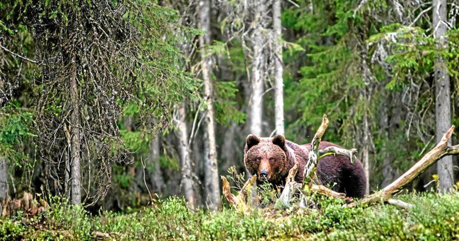 Hvor det skal være bjørn i Nordland er ett av stridsspørsmålene i konflikten mellom Rovviltnemnda i Nordland og Klima- og miljødepartementet. Foto: Per Harald Olsen / NTNU (CC BY 2.0)