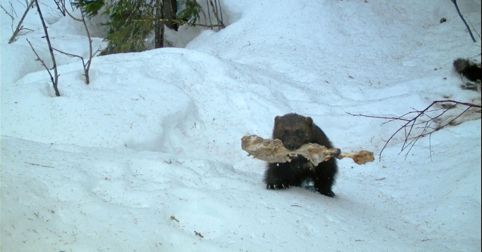 Jerven er en storhamstrer, og gjemmer ofte mat i snø, steinblokker og myr for å overleve dårligere tider. Foto: Norsk institutt for naturforskning (Nina)