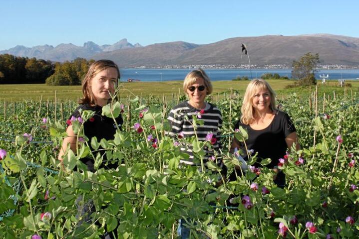 De tre NIBIO-forskerne Ewelina Wojciechowska, Inger Martinussen og Ingunn Vågen i ertefeltet på Holt i Tromsø. Foto: Anne Linn Hykerud.