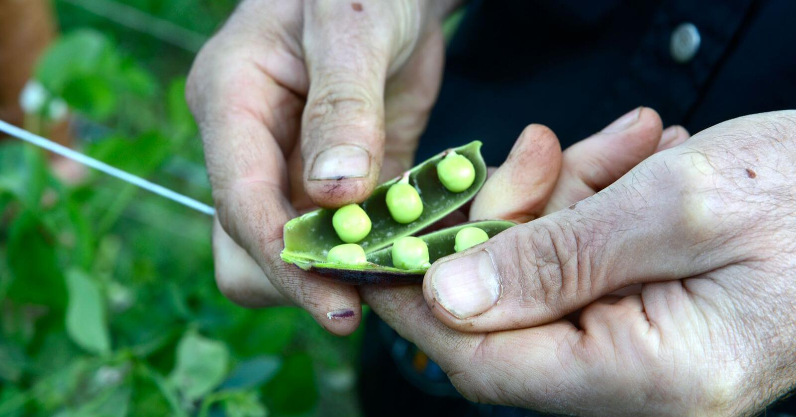 Åkerbønner og erter er nokre av dei vekstane som kan dyrkast i Norge. Foto: Mariann Tvete