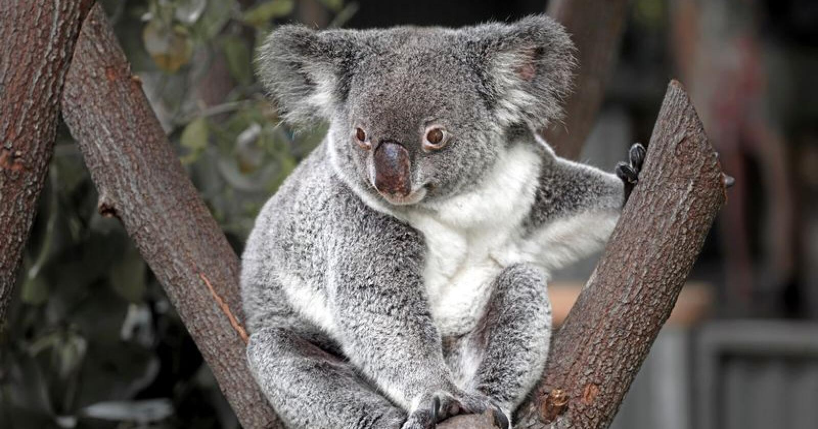 En australsk stiftelse advarer om at koalabjørnens langsiktige overlevelse er truet. Foto: Mostphotos
