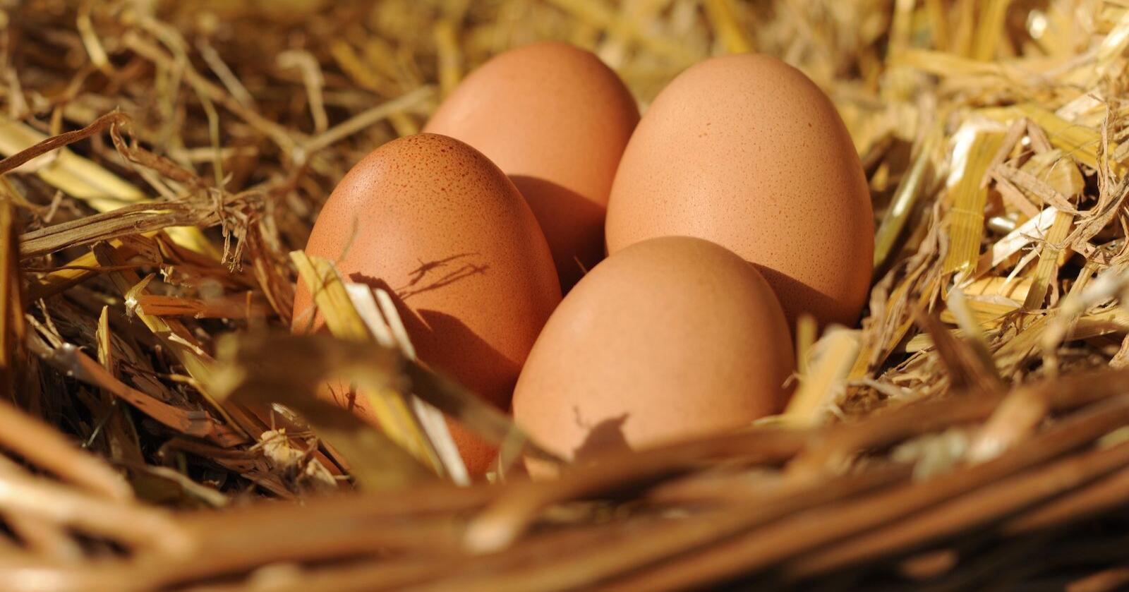 Dyreforsøk er ofte naudsynt i utvikling av medisinar. Befrukta egg av vanlege gardshøns kan kanskje brukast i staden for. Foto: Frank May / NTB/ NPK