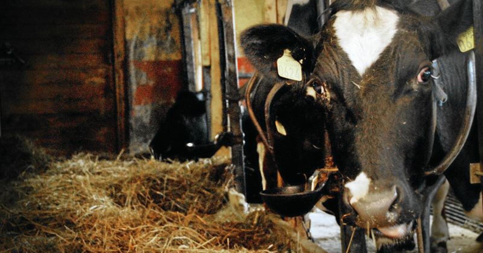 Ikke ute: Flertallet av okser, griser, høner, kyllinger og kalkuner ser aldri dagslys før de blir slaktet, skriver innsenderen. Foto: Mariann Tvete