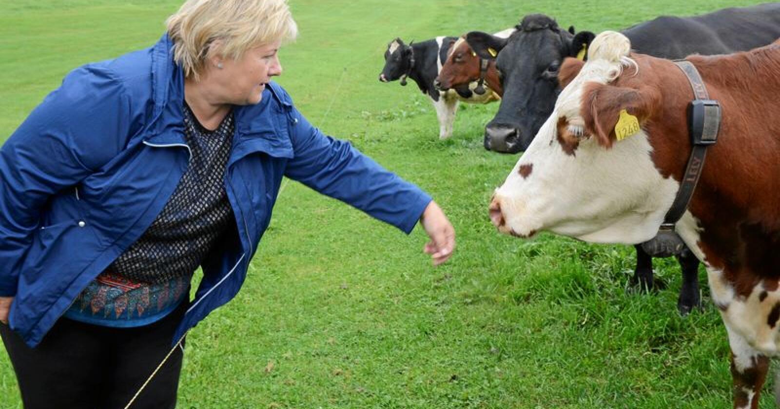 Nærmer seg: Statsminister Erna Solbergs regjering har større innsikt og forståelse for norsk landbruk enn tidligere. Her fra et gårdsbesøk i 2014. Foto: Mariann Tvete