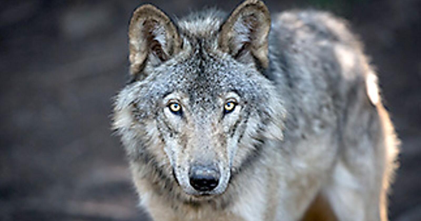 Klima- og miljødepartementet sier før jul nei til lisensfelling i tre av de fem ulveflokkene rovviltnemndene ga grønt lys for felling av. Det får store konsekvenser for ikke minst Elverum kommune. Foto: Shutterstock