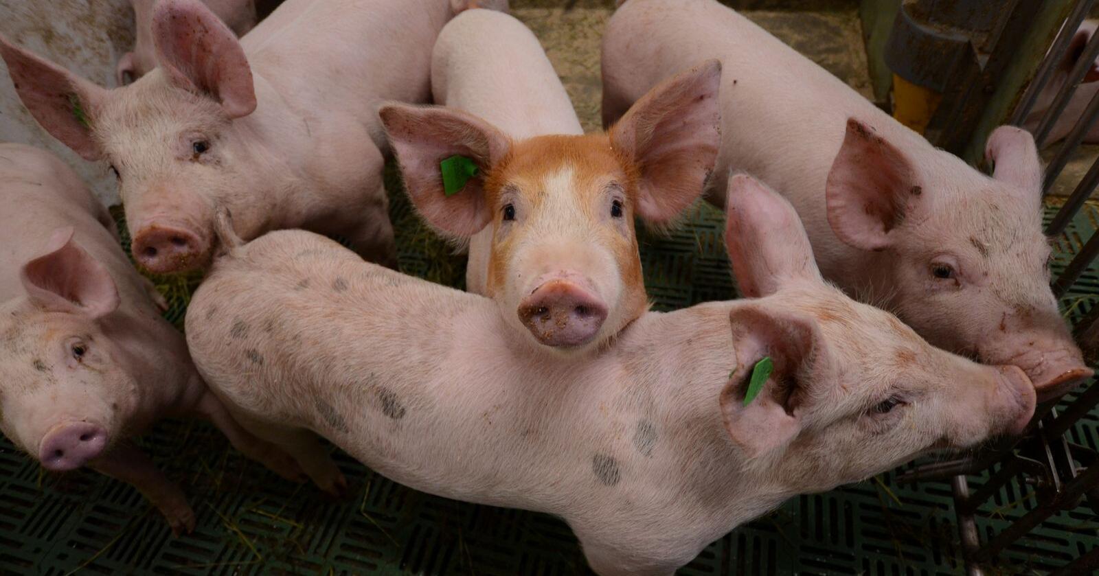 SENSOR: Håpet er at den nye biosensoren kan få ned dødeligheten og redusere forbruket av antibiotika i svineproduksjonen. Foto: Liv Jorunn D. Sagmo