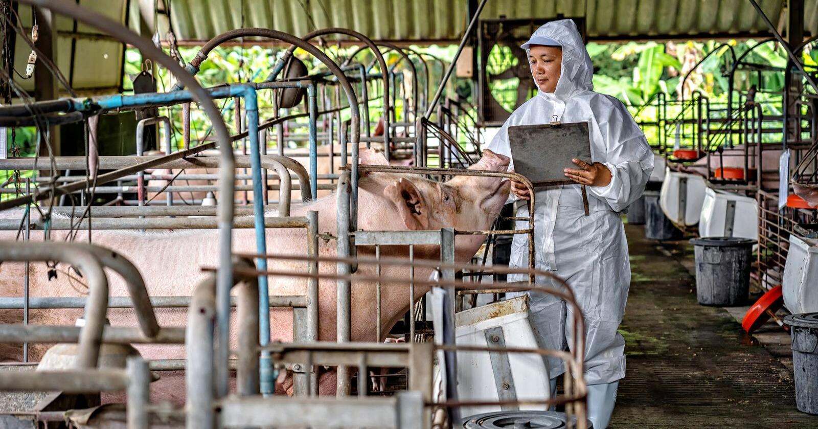 Koronautbruddet i Kina la en demper på både handel, restaurantbesøk, innkjøp og transport. Nå er Kina gjenåpnet - og med det er også etterspørselen etter svinekjøtt tilbake. På bildet sees en smitetvernkontroll på en kinesisk svinegård. Foto: Shutterstock/TZIDO SUN