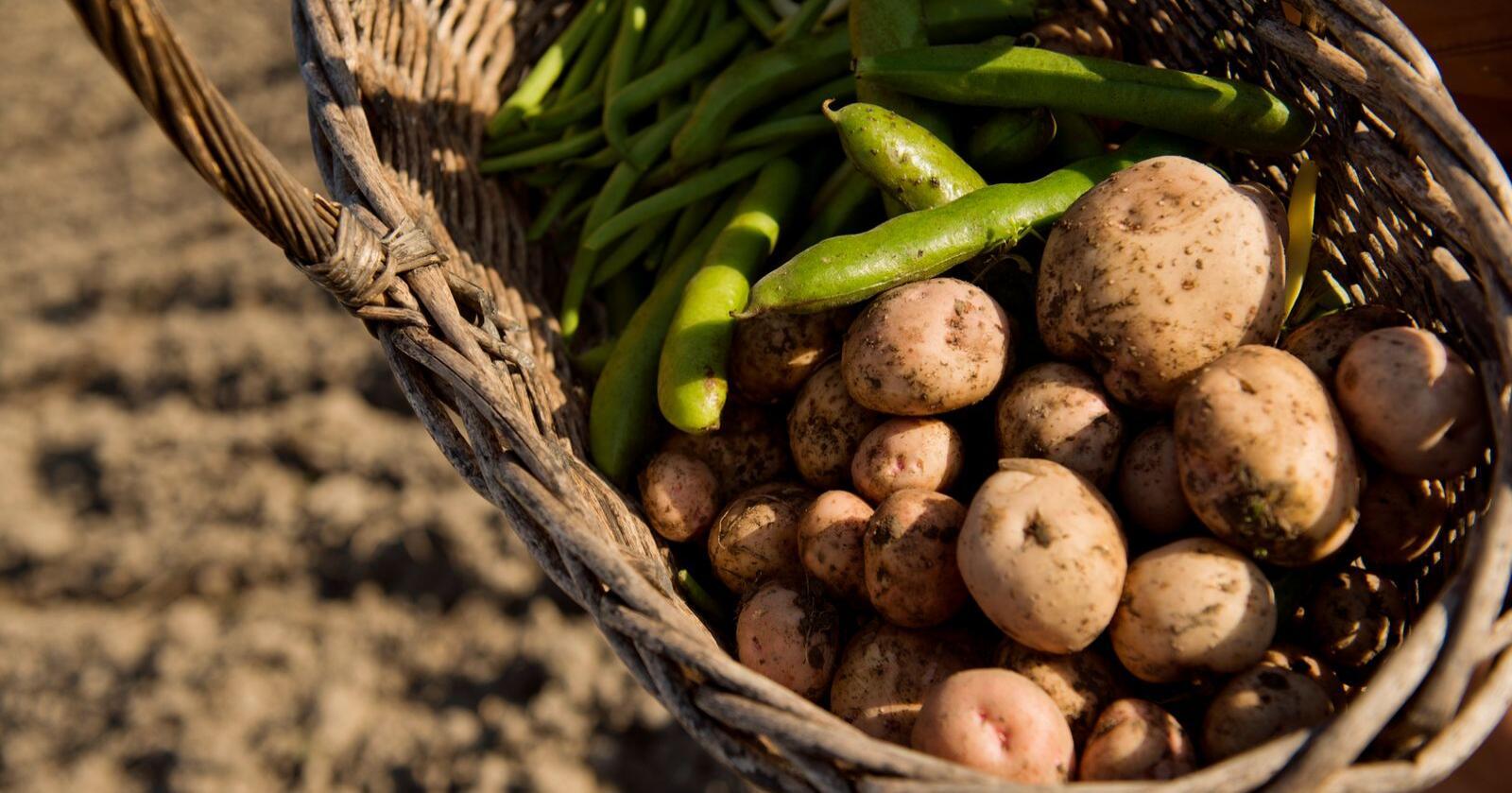 Årets potetavling ser ut til å bli mindre enn fjorårets avling. Illustrasjonsfoto: Fredrik Varfjell / NTB