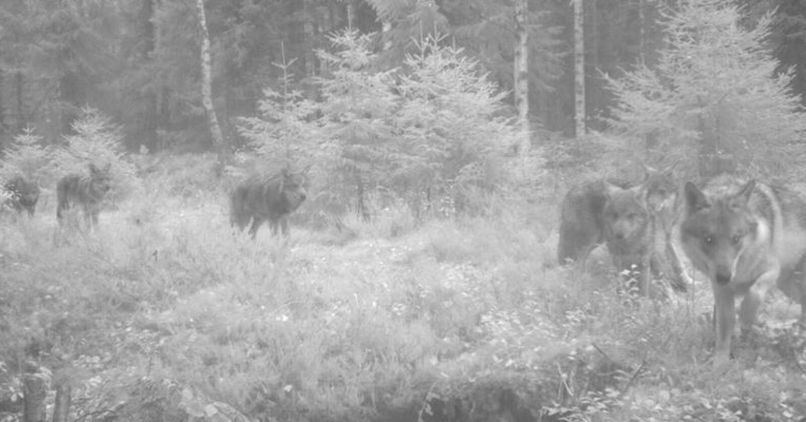 Minst ni ulver blei fanget opp på viltkamera i Kynnareviret i Hedmark 12. oktober. Foto: viltkamera.nina.no