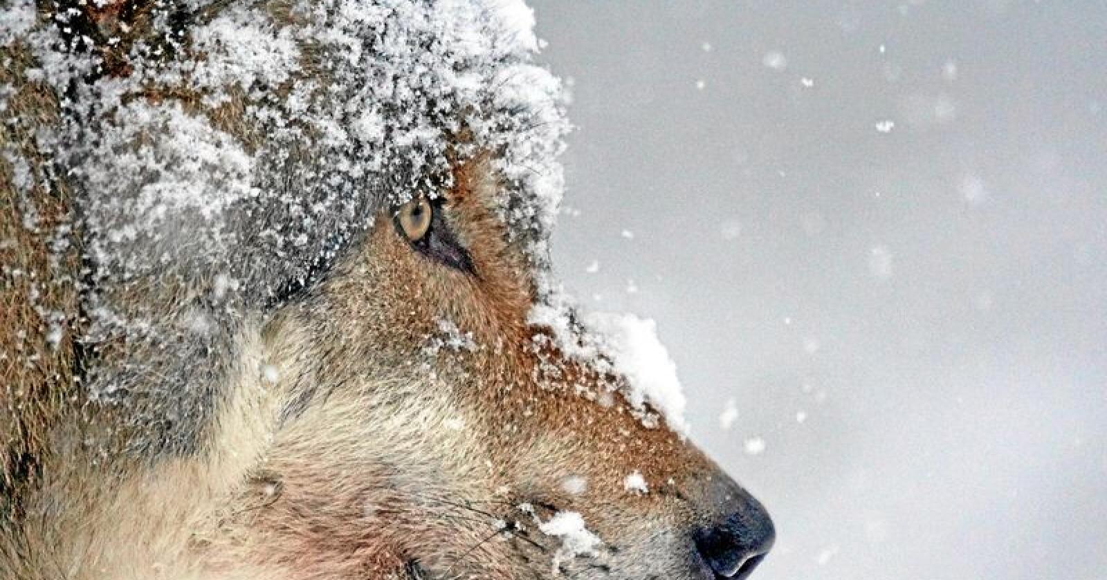 En ulvetispe ble felt i Sjølisanden i Rendalen kommune tidligere i vår. Foto: Creative Commons