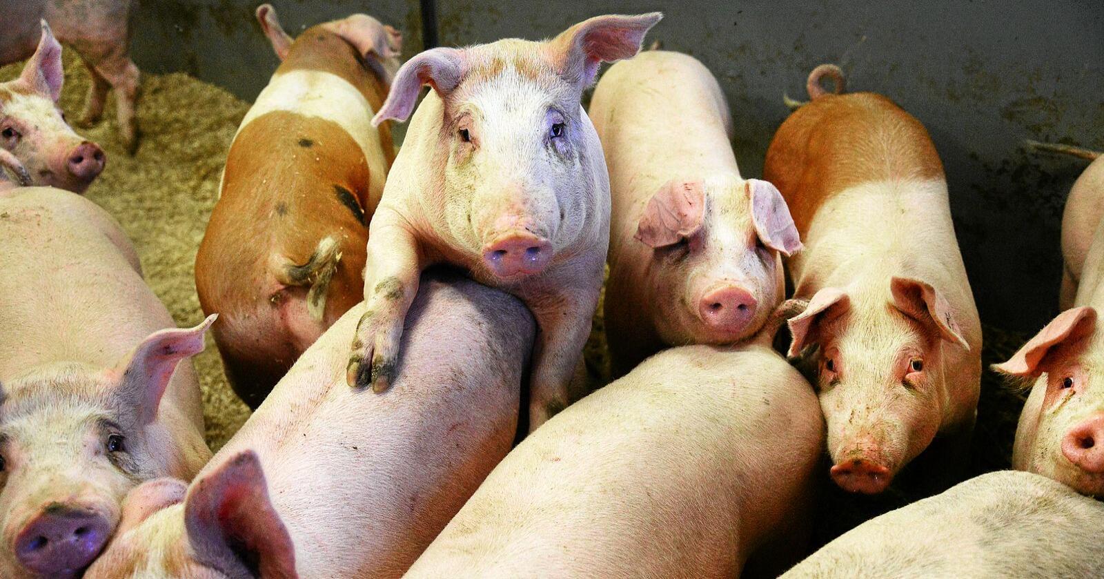 Dyrevelferd: Kompetanse og rutiner er en nøkkel til å bedre dyrevelferden hos norske griser, skriver Lars Petter Bartnes. Foto: Siri Juell Rasmussen