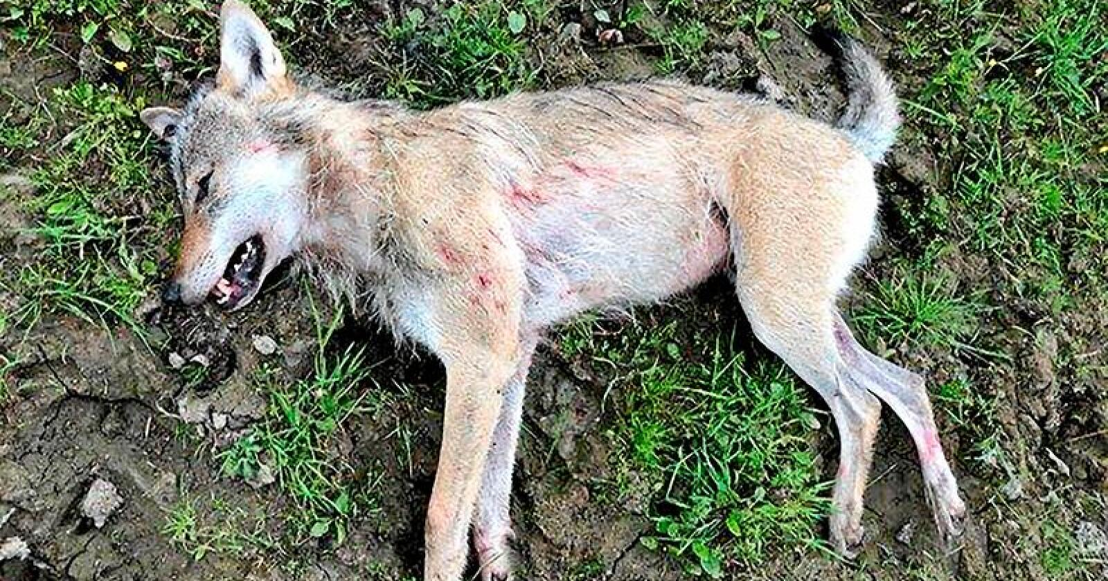 Ulven ble skutt på et beite i Sør-Odal. Foto: Politiet / NTB scanpix