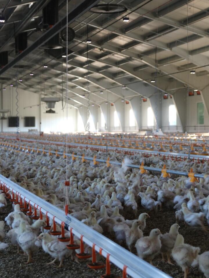 SLAKTES: Kyllingene var 15 dager gamle da Norsk Landbruk besøkte Tor Berg og Bente Karin Grønn på Sparbu i Trøndelag. Hubbard-kyllingene slaktes når de er rundt 47 dager gamle og skal helst ha ei slaktevekt på mellom 1 700 og 1 750 gram.