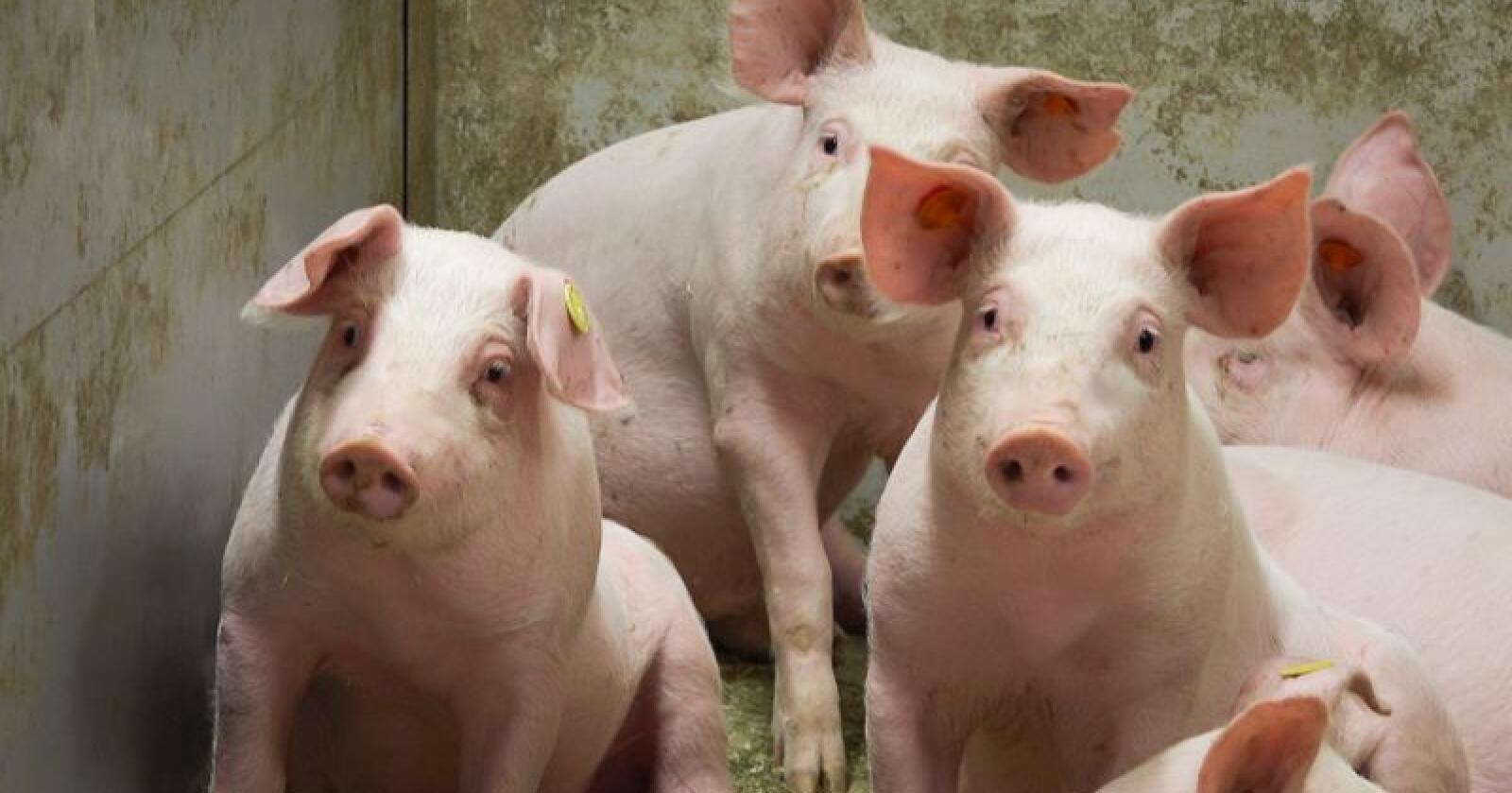 Covid-19 bidrar til at analytikerne nå forventer ytterligere usikkerhet for den globale svineproduksjonen. Foto: Hallfrid Simonsen