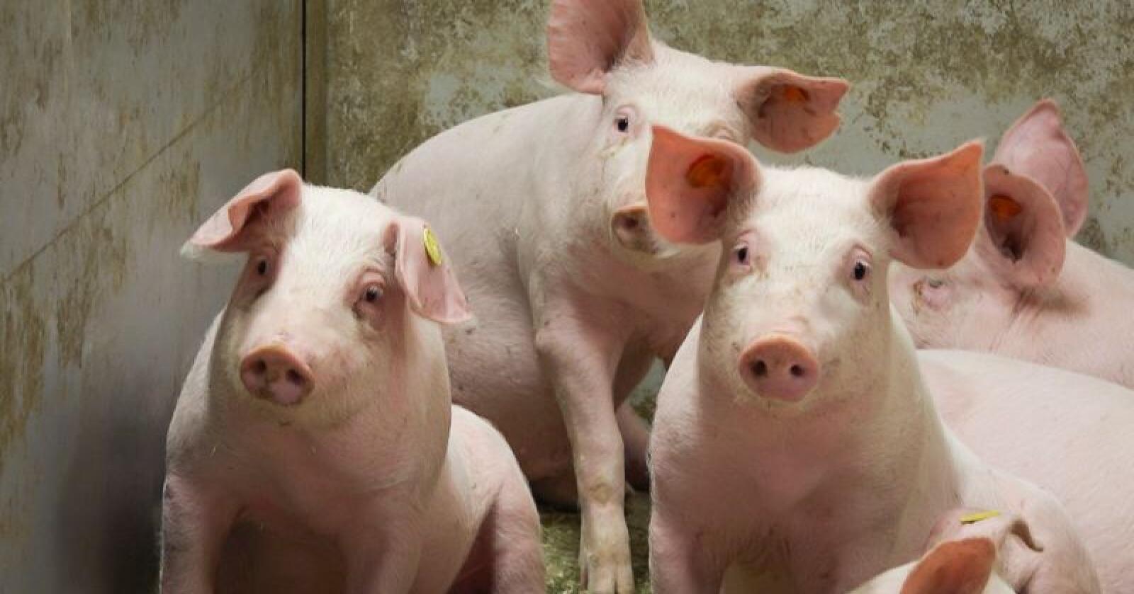 Debatten om hvordan det egentlig står til med dyrevelferden i norsk svineproduksjon, har blusset opp igjen. Grisene på bildet har ikke noe med den nye NOAH-filmen å gjøre. Illustrasjonsfoto: Hallfrid Simonsen