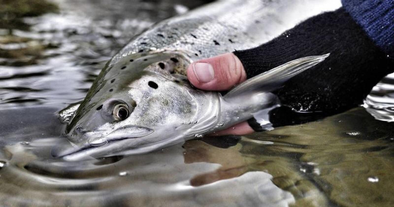Norske Lakseelver estimerer at det ble fisket ca. 97 000 laks i årets sesong, hvorav ca. 20 000 ble gjenutsatt levende. Foto: Norske Lakseelver