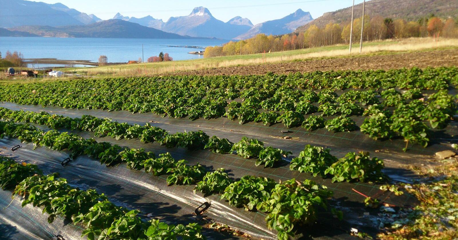 Merpris: Bondelagets grøntutvalg håper at det kan tas ut en merpris overalt der det er kostnadsøkning. På bildet sees jordbærproduksjon i Straumen, Nordland. (Foto: Borghild Winjan)