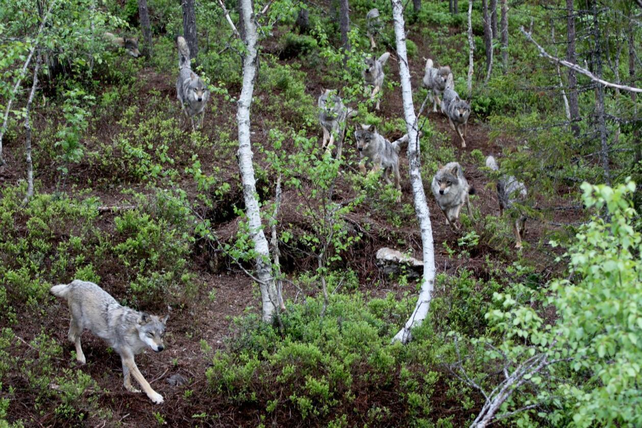 Skal bli testa: Stortinget går inn for ei «uavhengig utredning av den genetiske opprinnelsen til ulvestammen i Norge». Desse ulvane lever i Namsskogan familiepark. Foto: Kjetil S. Grønnestad