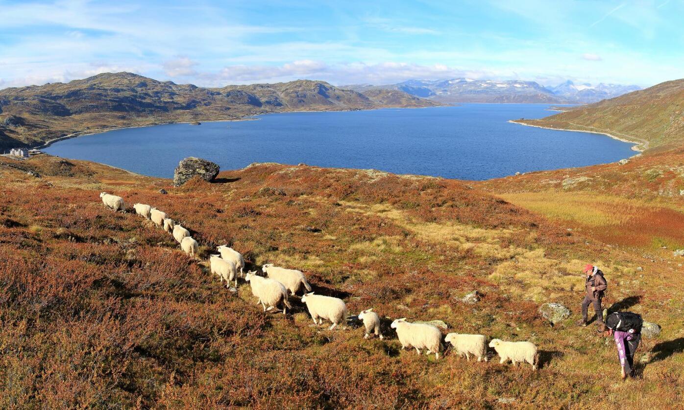 Er ønsket: Samarbeidet mellom Nortura og kjedene har bevist at kunden ønsker lammekjøtt, sier Kjell Gudmund Svien. Her sanker han inn Tyinlam ved Tyinvannet. (Foto: Oddvin Almenning)