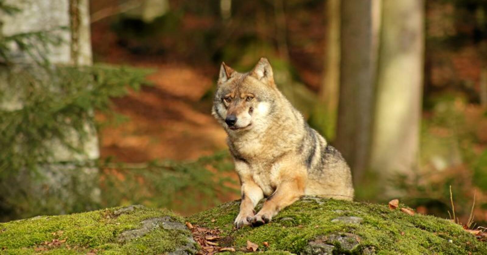 Ulvebestanden vokser raskt i Tyskland. Her ulv i en nasjonalpark i Bayern sør i landet. Foto: Gerlinde Zierer (CC BY-SA 4.0)