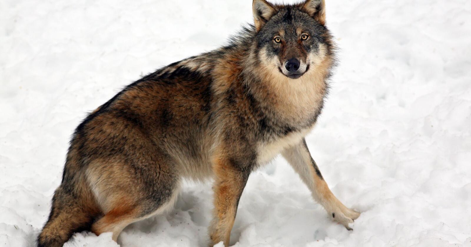 Hvordan vet man egentlig om en ulv er genetisk viktig, spør Regina Brajkovic. Denne ulven er fotografert i Dalarna i Sverige. Illustrasjonsfoto: Johan Bjurer/Mostphotos