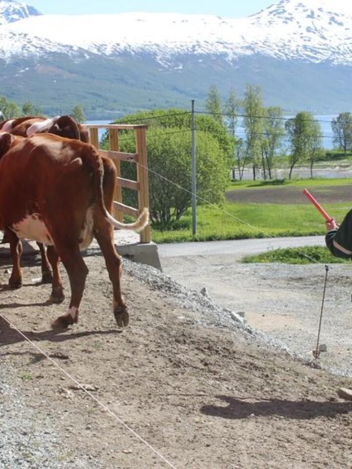 Ny bonde: Ane Sofie Gout Lundberg (27) ble satt ut da grandonkelen spurte om hun ville ta over melkebruket hans. Ane Sofie innså raskt at det ville hun. (Illustrasjonsfoto fra  Balsfjord: Per K. Bjørklund og Marit Glærum)