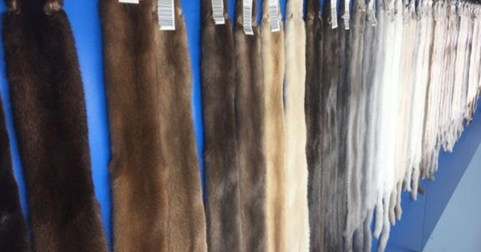 Auksjonen hos Kopenhagen Fur viser tydelig at pelsmarkedet opplever økende priser etter noen års prisnedgang.