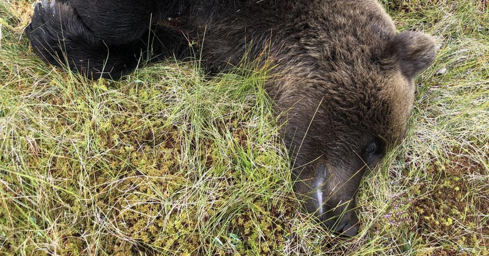 Denne hannbjørnen på 110 kg ble felt tirsdag. Foto: Jonny Rustad