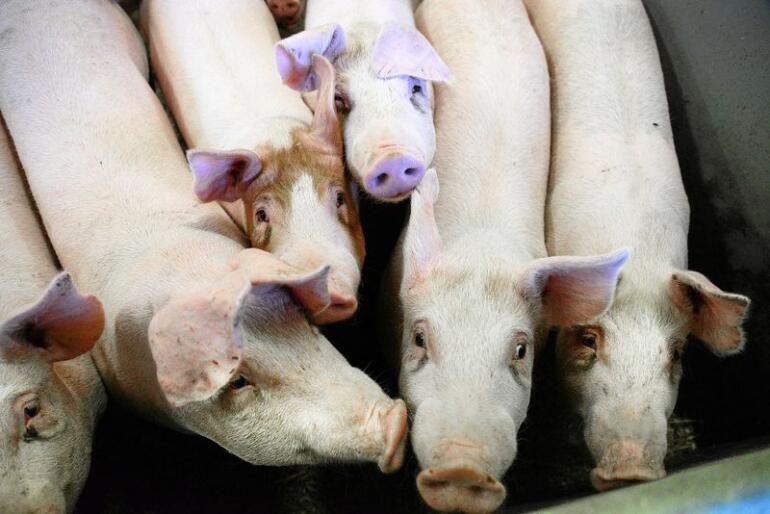 Flere millioner griser har blitt slaktet på grunn av den afrikanske svinepesten. Blant annet i land som Kina og Vietnam. Illustrasjonsfoto: Siri Juell Rasmussen