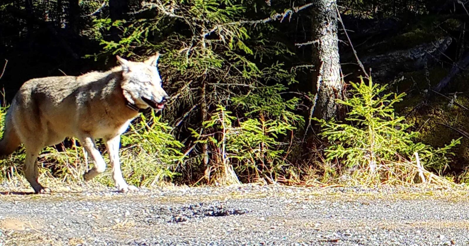 Et viltkamera i Nes kommune fanget opp dette bildet av den GPS-merkede ulven 1. april i år. Miljødirektoratet vil ikke svare på om dette er den genetisk viktige Elgå-ulven. Foto: Nes kommune