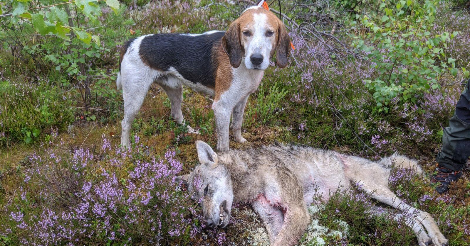 Ulvetispa som ble skutt onsdag morgen på 27,2 kilo. Foto: Skadefelingslaga i Nord Østerdal