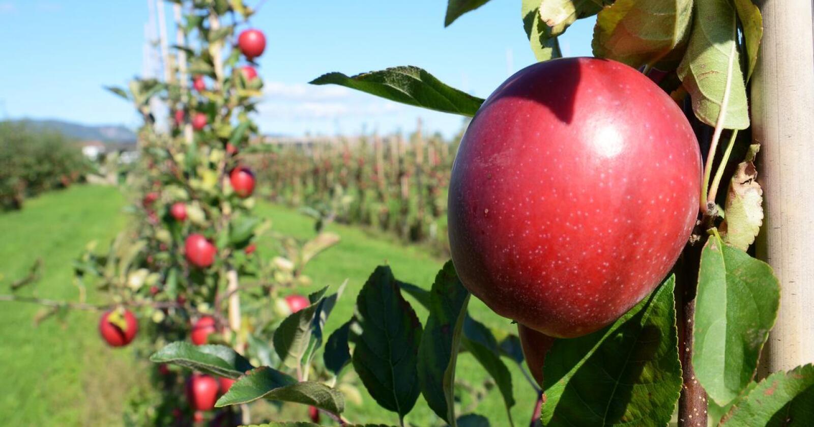 Frukt- og bærproduksjonen falt markant i 2020. Det skyldtes ikke minst dårlige forhold for eple og plommer, hvor de store volumene ligger. (Arkivfoto)