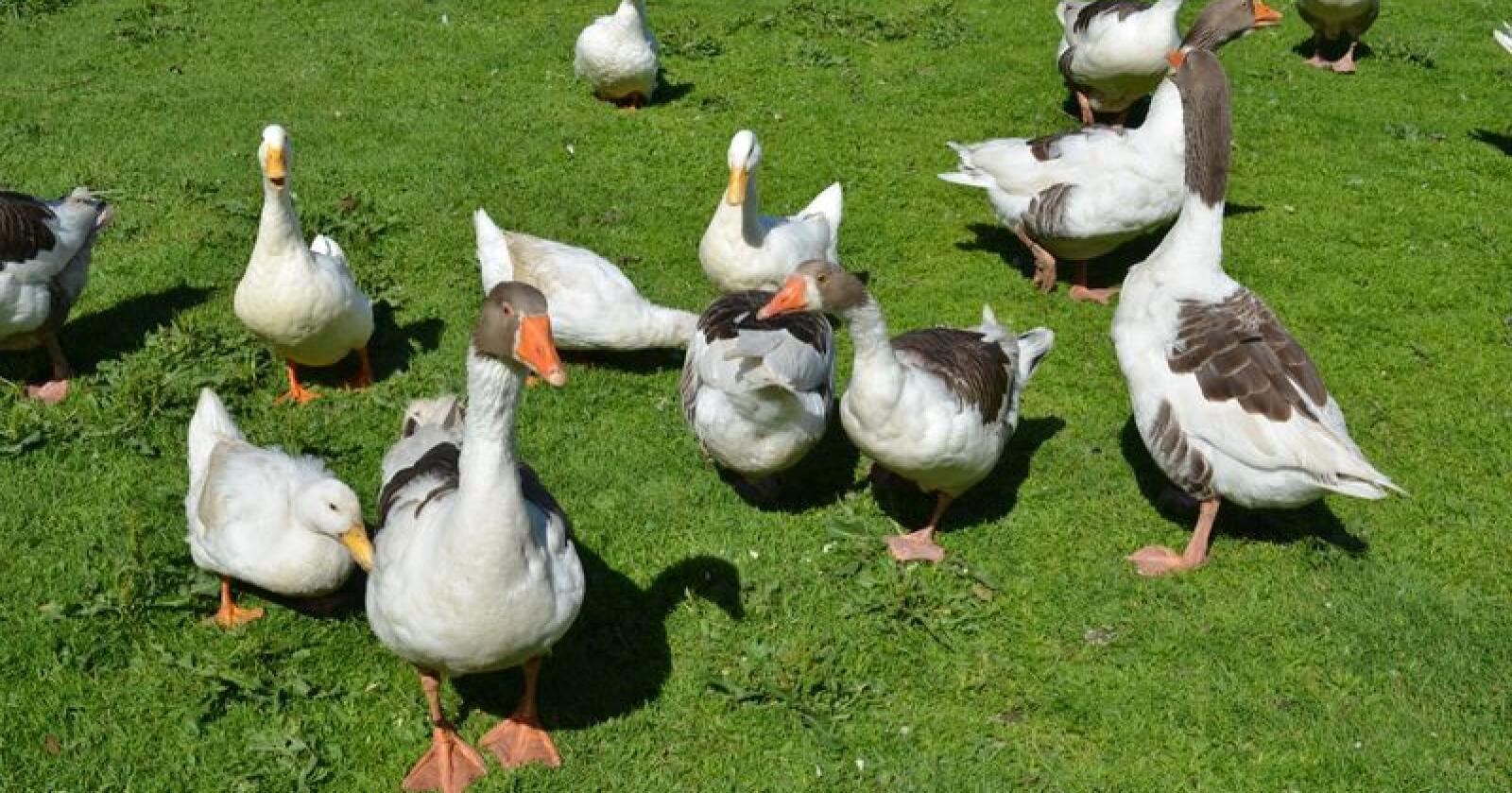 Veterinærinstituttet oppfordrer publikum til å være årvåkne i forhold til funn av døde andefugler, måkefugler, vadere, rovfugler og åtseletere. (Arkivfoto)